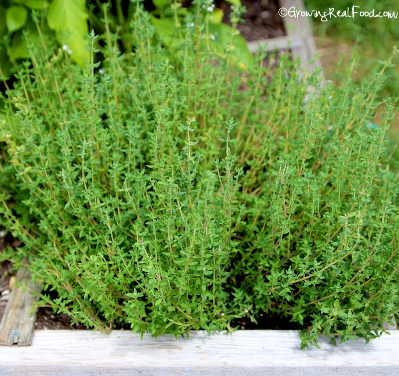 Herb garden, Hyme can be grown indoors by planting a soft tip cut from main plant