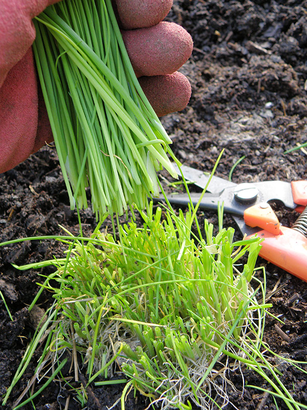 Herb garden, Grow chives by sowing seeds in indoor