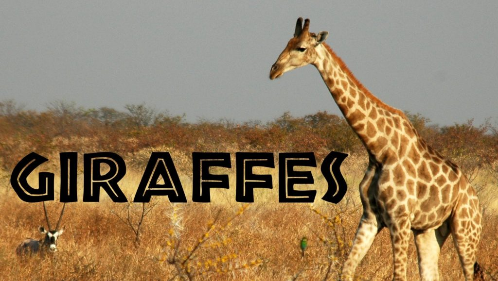 Giraffes are the Newest on the endangered list after the bumblebee!