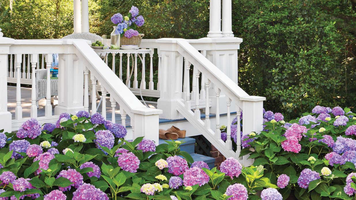 Hydrangea, Porch