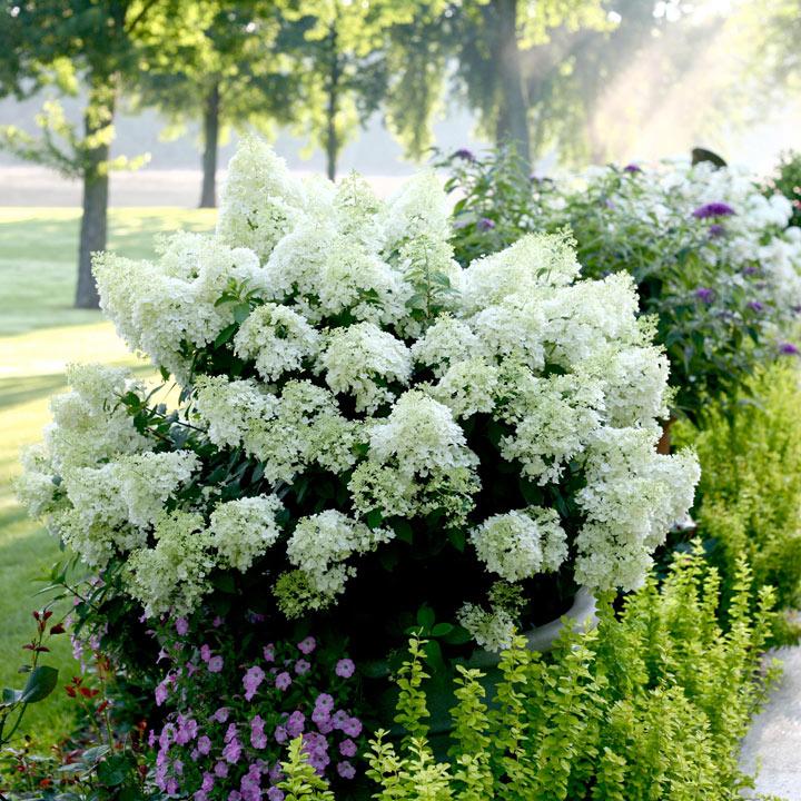 Hydrangea Paniculata Plant