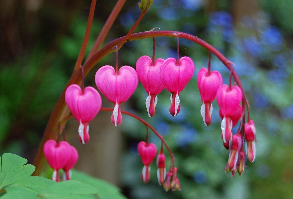 Heart Bleeding Flowers