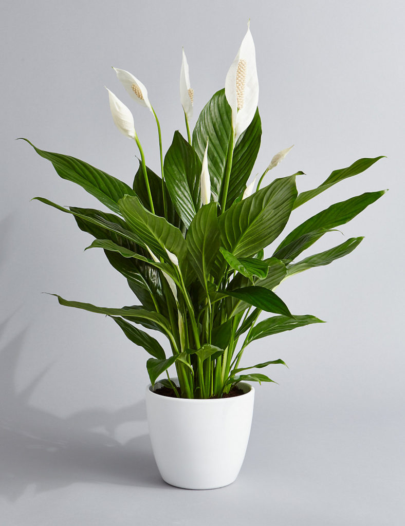 peace lily Indoor Plant help you sleep better at night