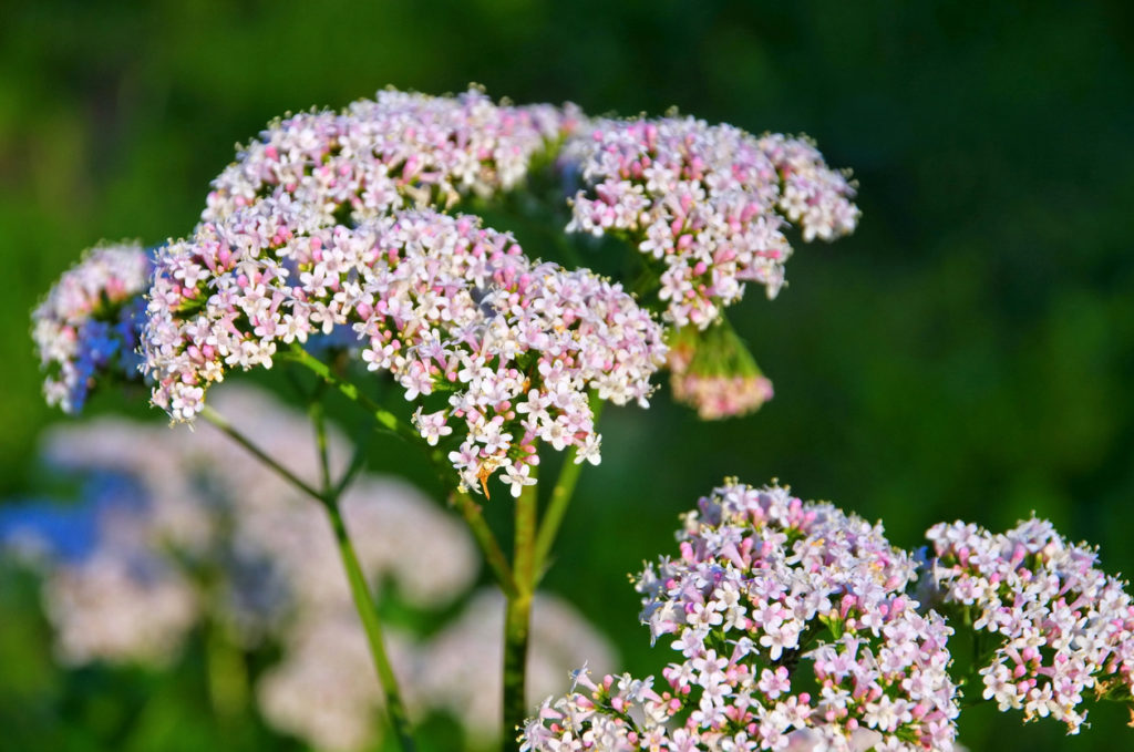 Valerian Indoor plant help you to sleep better