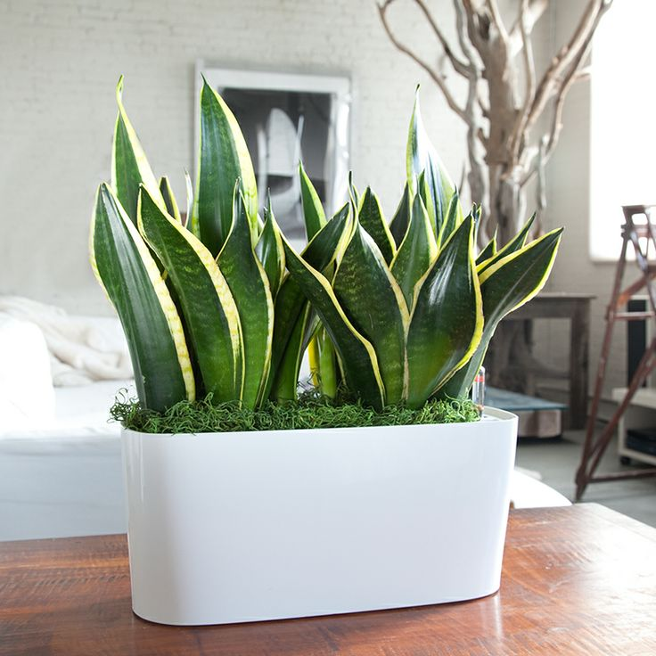 Snake plant for indoor use