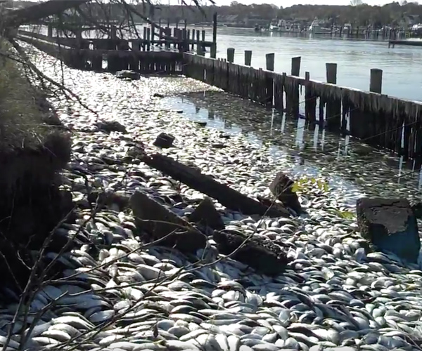 Mystery behind the Countless Dead Fish on Long Island